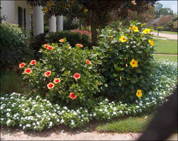 Hibiscus Bush Landscaping